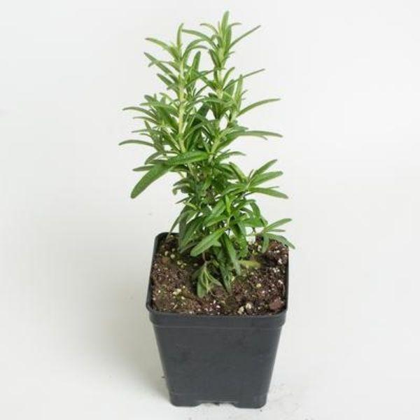 Plants Online in Delhi