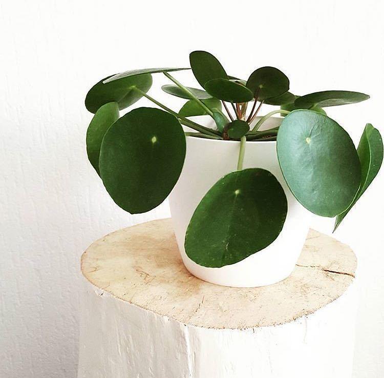 Buy Home Decor Plants in Delhi