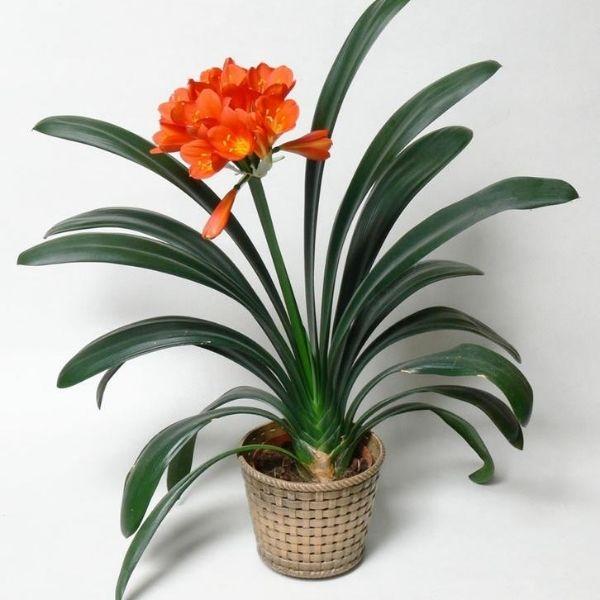 Clivia Lily