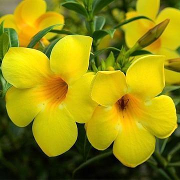 Allamanda Creeper (Yellow)
