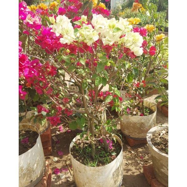 Live Natural Plants Online in Delhi