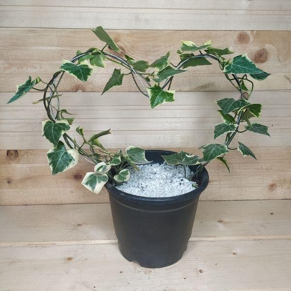 wax ivy topiary