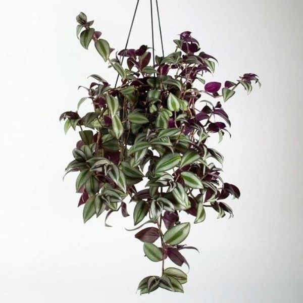 wandering jew with hanging basket