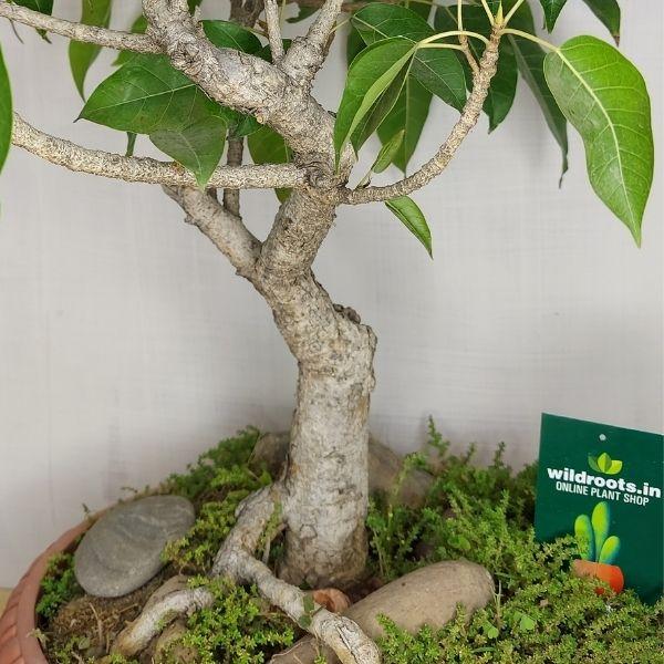 pilkhan bonsai
