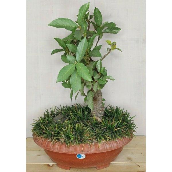 gular bonsai