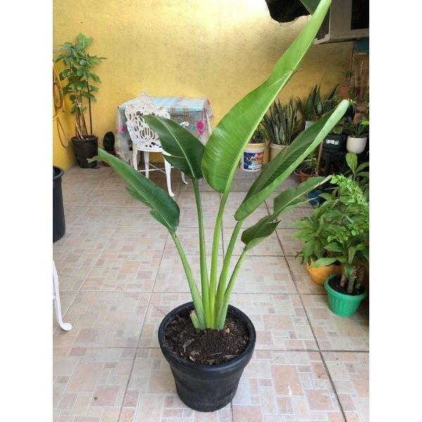 Travellar Palm - Plant