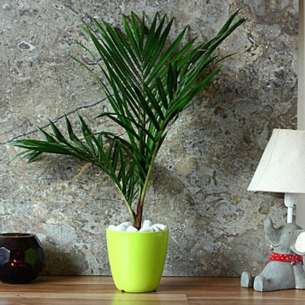 rexone palm