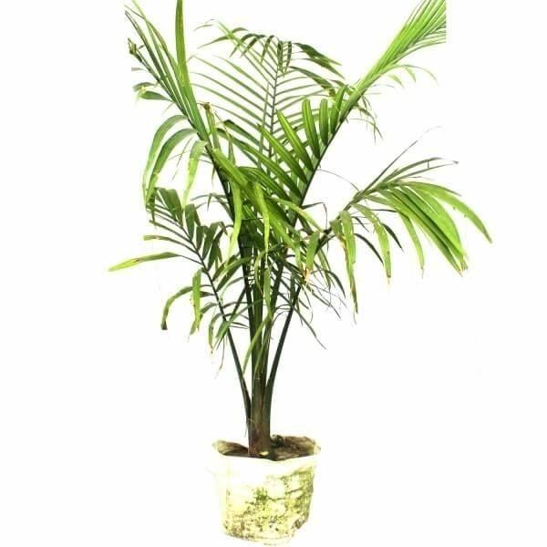 rexona palm