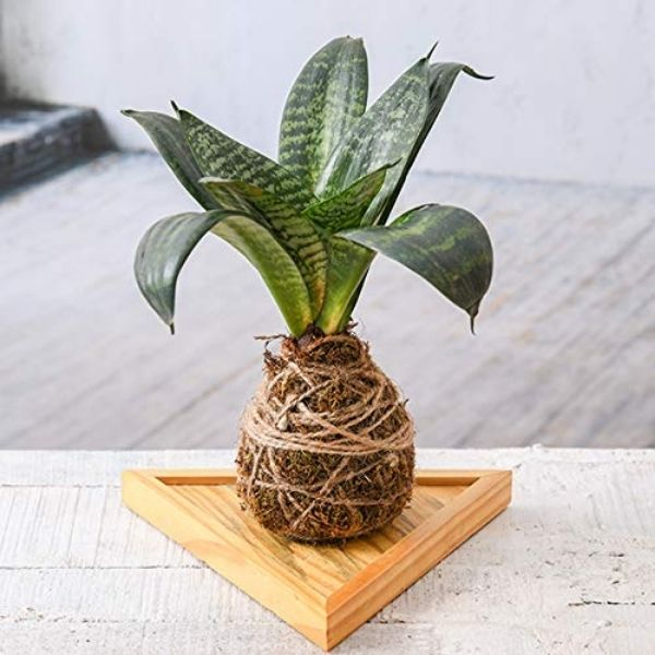 Snake plant kokedama